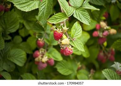 red raspberries growing on a bush