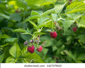 red raspberry berries hang on the branches. raspberry plantation raspberry bush with berry.