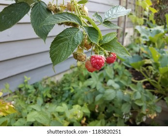red raspberry fruit on vine with green leaves