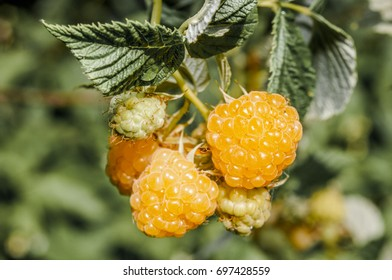 Red Raspberry (Rubus idaeus) in garden, Moscow region, Russia