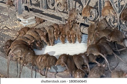 Red rats drinks milk in Shri Karni Indian temple.