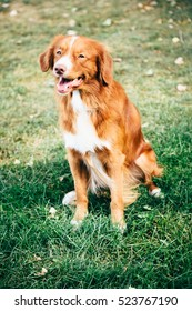 red retriever dog in the park