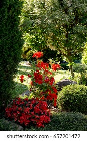 Red rhododendron azalea blooms in spring garden. Springtime beautiful flower with shallow focus