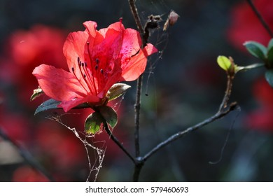 Red Rhododendron blooming (Rhododendron simsii Planch)