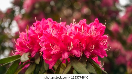 Red Rhododendron Flowers on a blurred background in shallow depth of field at Rhododendron Garden in Blackheath, New South Wales, Australia.
