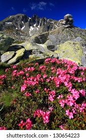 Red rhododendron flowers on the granite rocks, Retezat mountains, Romania