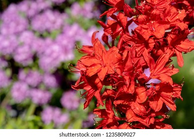 Red Rhododendrons with blurred pink flowers in the background