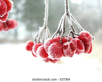 The red rimed berry. Red berry during the winter cold foggy morning covered by icicles.