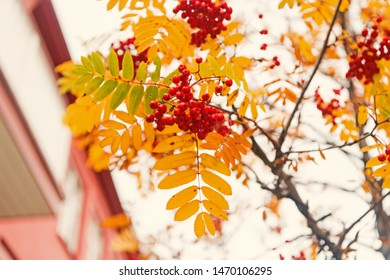 red ripe bunch of rowan with green rowan leaves in autumn. autumnal colorful red rowan branch. bunch of orange ashberry. beautiul garden. rich harbest in autumn season.