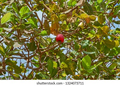 Red Ripe Cashew is on the tree. Cashew tree. The color of red Cashew.