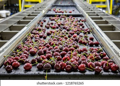 Red ripe cherries on a wet conveyor belt in a packing warehouse for export