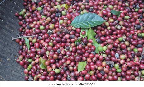 red  ripe coffee bean