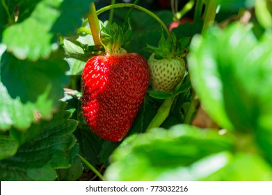 Red ripe and green strawberry surrounded by green leaves. Food background
