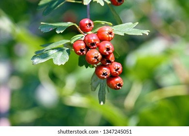 Red ripe hawthorn (crataegus monogyna) fruits on branch, native to Europe, northwest Africa and western Asia