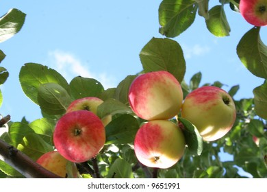 Red ripe and juicy apples on apple tree branch.