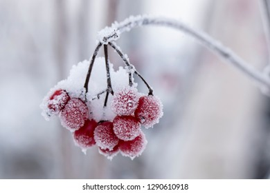 Red, ripe, mouth-watering berries of Viburnum are covered with hoarfrost and snow, on a cold winter day. Close-up.