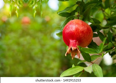 Red ripe pomegranate fruit on tree branch in the garden. Colorful image with place for text, close up. Rosh-haShana - Israeli New Year symbol