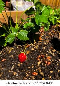 Red Ripe Strawberry in Garden.