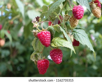 Red ripe sweet raspberries on a bush, closeup, bokeh, on a sunny summer day