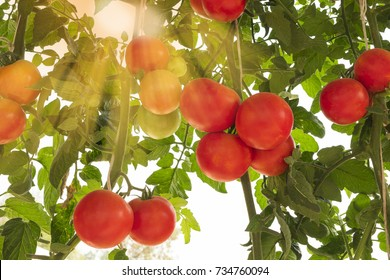Red ripe tomatoes on vine plants in hydroponics vegetable garden greenhouse farm with sunlight