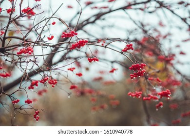 Red ripe viburnum berries in rainy autumn day. Selective focus. Shallow depth of field.