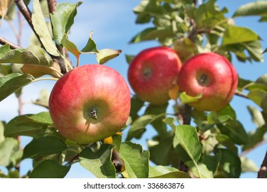 Red ripening apples hanging on a branch in early autumn, close-up