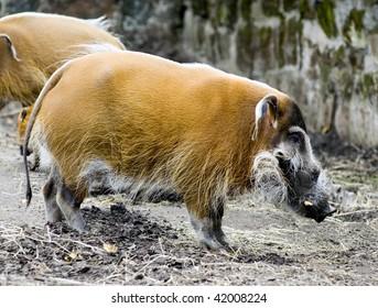 Red River Hog Boar