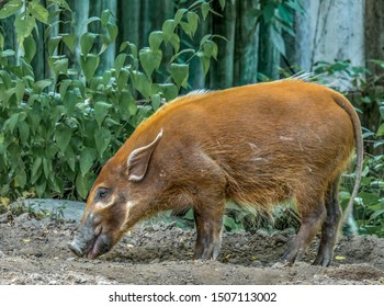 A red river hog, also known as a bush pig.