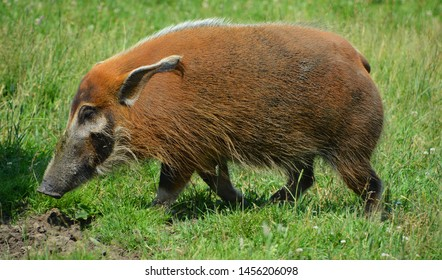"""The red river hog (Potamochoerus porcus), also known as the bush pig (but not to be confused with P. larvatus, common name """"bushpig""""), is a wild member of the pig family living in Africa"""