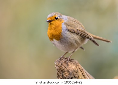 Red robin (Erithacus rubecula) bird foraging in an ecological garden on bright background. This bird is a regular companion during gardening pursuits. Wildlife in nature. Netherlands.