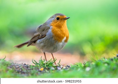 red robin images stock photos vectors shutterstock