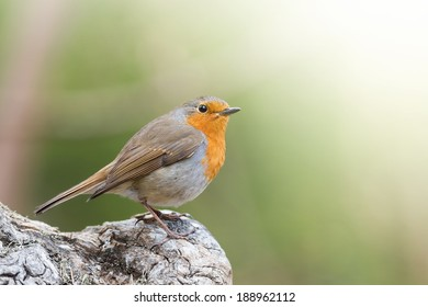 Red robin or Erithacus rubecula sitting on an old tree stump with green background