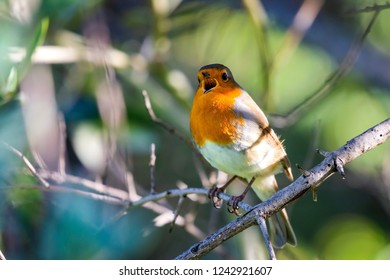 A red robin or Erithacus rubecula. This bird is a regular companion during gardening pursuits