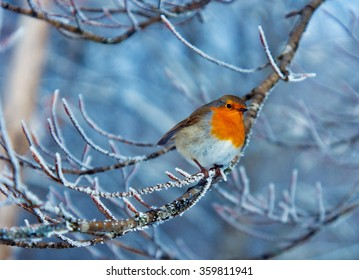 Red robin on the frozen branch