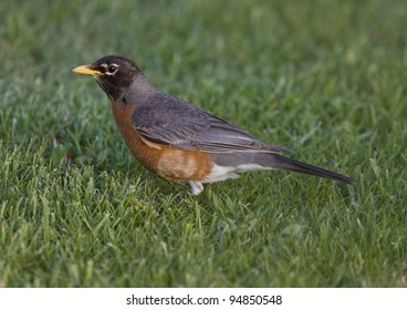 Red Robin on Lawn close up Canada
