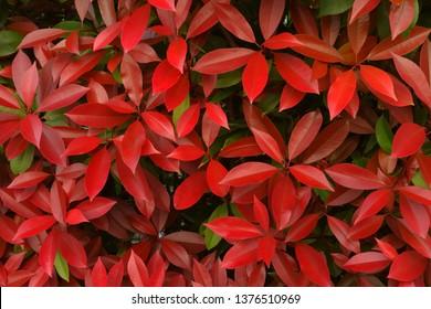Red Robin  Spring red leaf