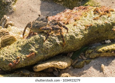 Red Rock Crab sitting on a large rock at the coast in the sunlig
