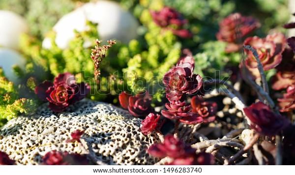 Red Rock Garden Next Pumice Stone Stock Photo Edit Now 1496283740