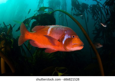 Red Roman Seabream in False Bay kelp forest