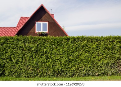 The red roof of standard  rural private wooden small house and hedge fence from evergreen tree Thuja. Sunny spring morning outdoor landscape