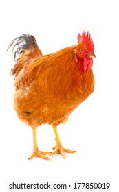 red rooster on a white background is isolated