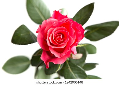 Red rose from above, isolated