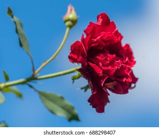 Red rose against a blue sky