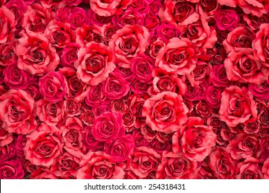 red rose for backgrounds