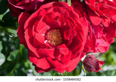 Red rose; Bella Rosa in a park