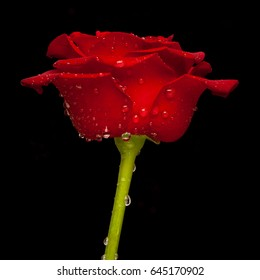 Red rose with black background. Water drops enhanced with glycerin. Exclusive to Shutterstock.