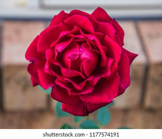Red Rose in Bloom - Taken in our garden at Woy Woy, Central Coast, NSW, Australia.