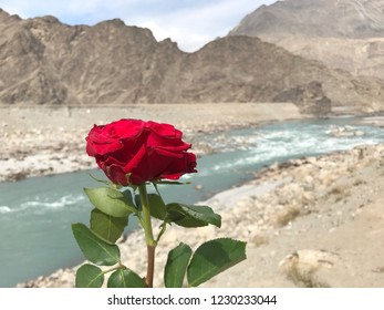 red rose blooming with blured of  Indus river background.Skardu,Pakistan.