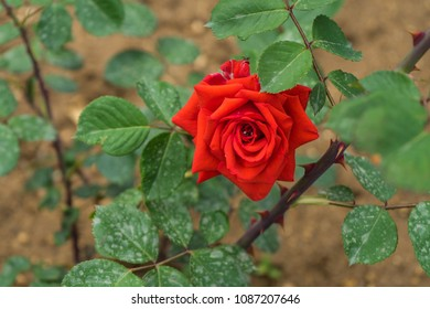 Red rose in blossom