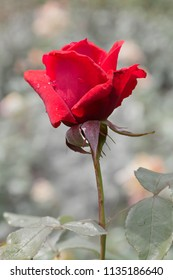red rose blossom, background soft and desaturated, color key card